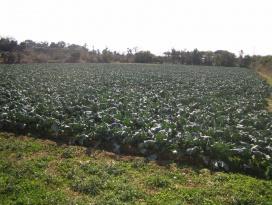 ブロッコリーの畑が広がっています。
